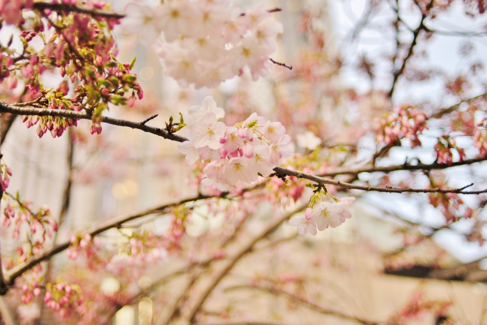 Blossoms, downtown Seattle - March 2011